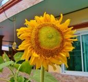 Sonnenblume im Vorgarten