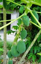 Papaya am Baum (wird grün (roh) als Salat gegessen, oder gelb (reif) als Obst