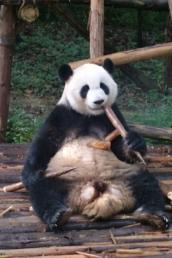 So ein Bambusstöckchen schmeckt schon lecker.