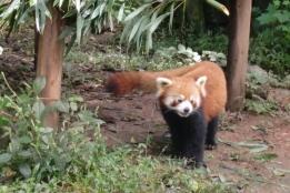 Neben den Gigant Pandas gibt es auch noch den Roten Panda zu bestaunen.