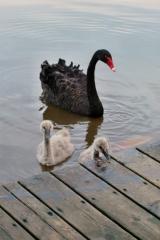 Am See begeiserten uns auch die jungen (schwarzen) Schwäne.