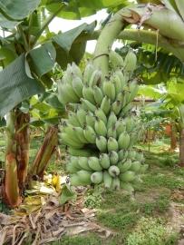 Bananenstauden am Wegesrand