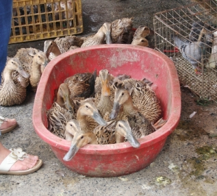 Sie warten noch. Leider konnten wir keine Ente retten. Das viel uns verdammt schwer. Die könnten doch alle auf unseren Teich.