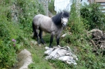 Ein Pferdchen kreuzt unseren Weg. Sie werden als Lasttiere von den Einheimischen genutzt.