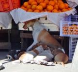 Eine Hündin säugt ihre Jungen im Schatten eines Marktstandes.