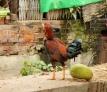 Der Hahn hat eine Melone gelegt :-)
