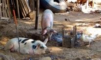 Die Schweine liegen gemütlich im Hof. Auch süße Enten watscheln herum.