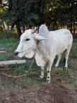 Auch die schönen weißen Kühe stehen hier überall in den Vorgärten.