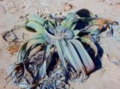 Hier mal ein Exemplar aus der Nähe. Nicht die hübscheste Pflanze, aber die älteste Pflanze ist über 1500 Jahre alt.