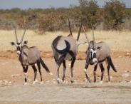 Sind sie nicht schön die Oryxantilopen.