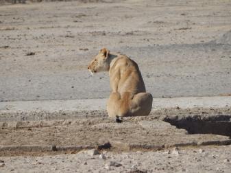 Eine Löwin hält Ausschau.
