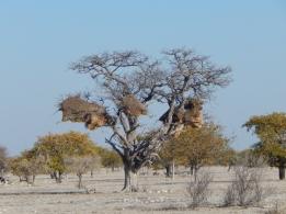 Riesige Vogelnester für bis zu 100 Vögel hängen an den Bäumen.