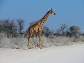 Giraffen sind so elegant.