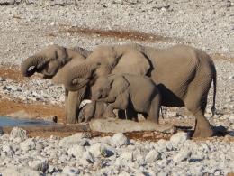 Elefanten stillen ihren Durst. Ist der Kleine nicht süß?