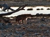 Für diese Hyäne sind wir sehr früh aufgestanden.