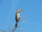 Tokos gibt es in Namibia und Botswana überall.