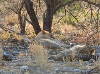 Löwen beim Mittagsschlaf