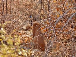 Ein Karakal im Etosha Nationalpark