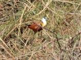 Wasservögel im Caprivi - Streifen.
