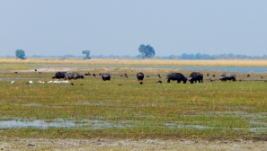 Wasserbüffel am Chobe Fluss.