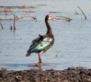Wasservögel mit glänzendem Gefieder.