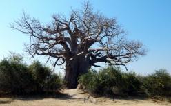 Ein Baobab -Affenbrotbäum. Ein Nationaldenkmal in Namibia.