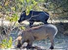 Typische Fresshaltung bei Warzenschweinen