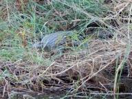 In und an den Gewässern sieht man immer wieder Krokodile.