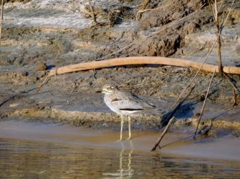 Ein kleine Wasserläufer am Zambesi.