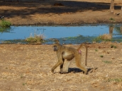 Affen kreuzten auch immer mal wieder unseren Weg. Sehr häufig als Störenfriede auf Campingplätzen.