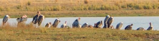 Eine große Gruppe Geier am Chobe.