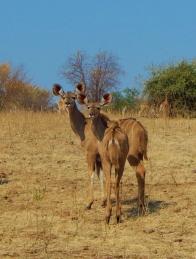 Zwei Kudu Damen.