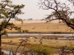 Zebraherde am Chobe