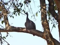 Ein Perlhuhn sucht Schutz im Baum.