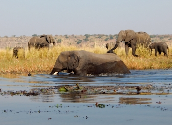 Elefanten baden im Chobe.