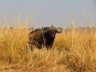 Dieser Wasserbüffel hatte seine Herde verloren.