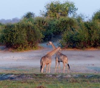Giraffen sind immer toll anzuschauen.