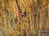 Malachit Kingfisher. Wow!