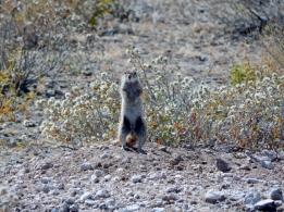 Ein Erdhörnchen hält Ausschau.