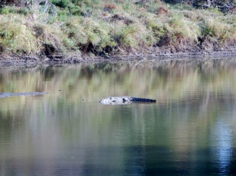 Krokodil im Zambesi