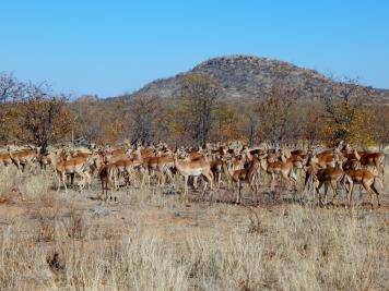 Herde Impalas