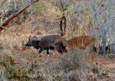 Nyala Antilopen Paar.