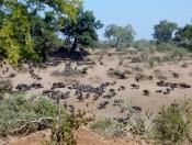 Wasserbüffelherde im Krüger Park.