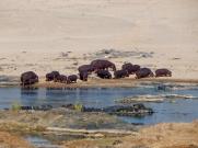 Flusspferde im Krüger Park