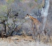 Giraffen immer wieder wunderschön.
