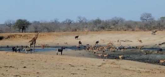 Die Wasserlöcher im Krüger Park waren während der Trockenzeit immer gut besucht.