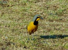 Tolle Zeichnung, die Vögel in Swaziland sind auch sehr imposant.