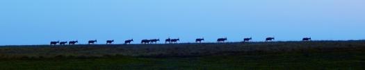 Eine Herde Blessböcke auf dem Weg zum Schlafplatz