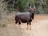 Imposantes Nyala Männchen