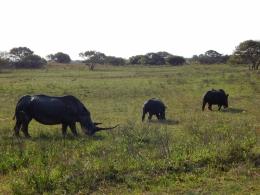 Imposante Länge des Nashorns